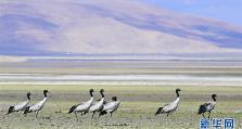 多庆湖畔黑颈鹤